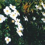 路傍の花P-472_ボタンキブネギク
