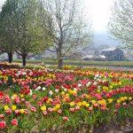 P20180406minamiashigara_tulip