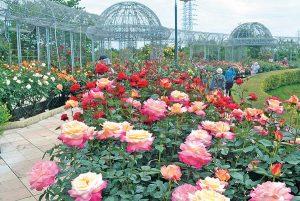 POST20190517_spring_rose