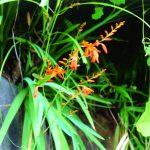 季節の花ノートP-025_ヒメヒオウギズイセン