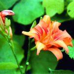 季節の花ノートP-028_ヤブカンゾウ