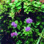 季節の花ノートP-026_オヤマシモツケ